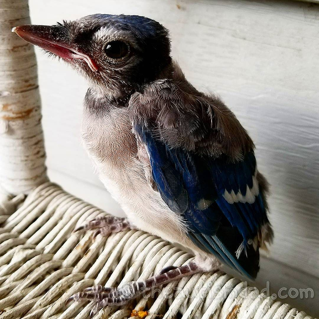 Another picture of the baby Bluejay from yesterday (Photography)  This guy was just so cute, and I have a bunch of pictures I'll share.
