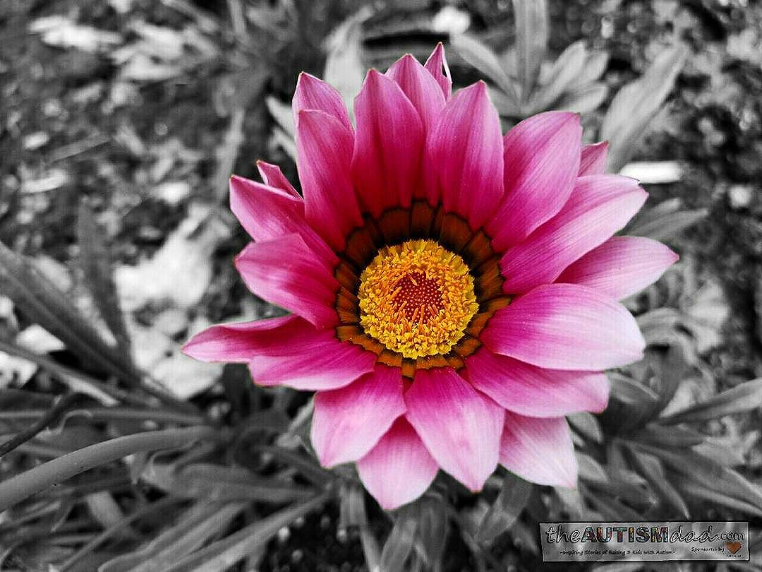 From today's trip to the Canton Garden Center (Photography) I love taking pictures, especially when there is a great deal of contrast. When I saw this flower while my wife and I were exploring the Canton Garden Center, I knew I wanted to remove the background color, so the flower would really pop. I don't use any apps that auto-remove the background, I do it by hand on my tablet. I use Color Splash FX, and manually remove the background color, sometimes pixel by pixel. I get a sense of satisfaction out of creating something like this on my own. This is one of my favorite ways to I have to help me manage stress, and cope with all thays involved in being an Autism parent.